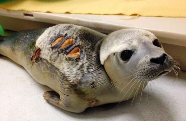 A seal dubbed Charleston Chew is being cared for at the University of New England Marine Mammal Rehabilitation Center after encountering sharks.