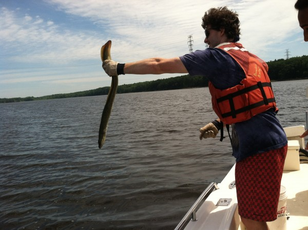 Bowdoin College student Nathaniel Niles releases an eel into Merrymeeting Bay after measuring it.