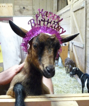 Buttermilk, a Nigerian dwarf goat owned by Kathryn Harnish and Rob Lawless at Took A Leap Farm in Houlton, is gifted with a tiara during her first birthday party at the farm in June. Buttermilk became famous when a video of her scampering and playing with other goats on the farm when viral on YouTube last year. It now has close to ten million views.