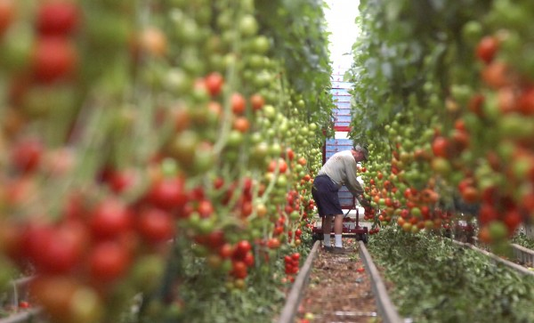 An employee picks tomatoes at Backyard Farms in Madison.