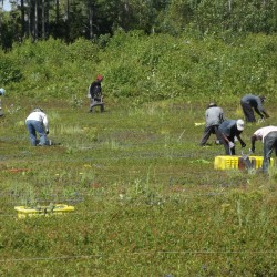 Hand rakers, migrants being replaced by mechanization in Down East Maine's blueberry barrens