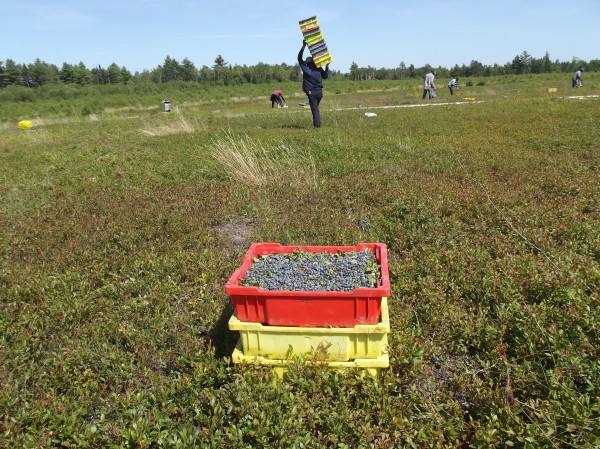 A migrant worker carries empty boxes to other workers raking blueberries for Whitney Corp. in Jonesboro on Tuesday.
