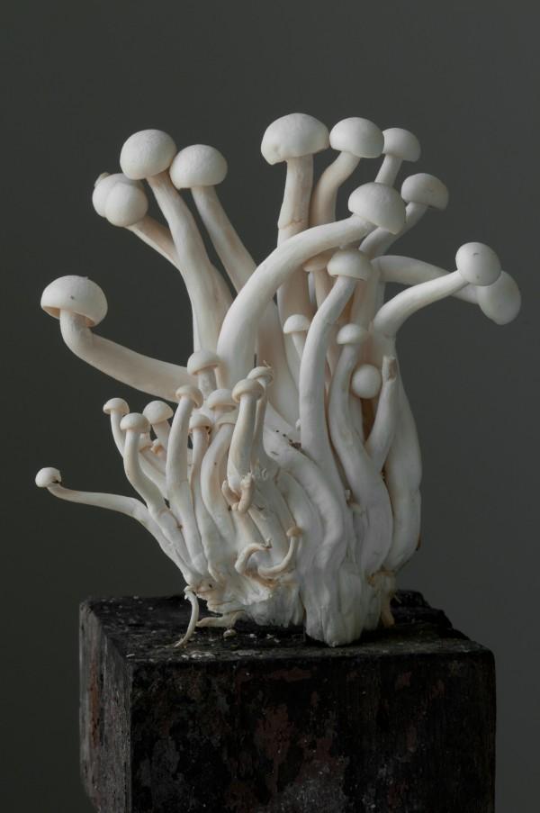 White Beech Oyster Mushroom