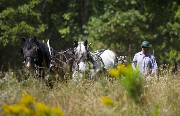 Sam Hazlehurst uses horses to plow a field at his farm in Troy Friday.