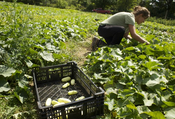 Kelsey Schrey, 22, harvests pickling cucumbers at Terranian Farm in Troy Friday.