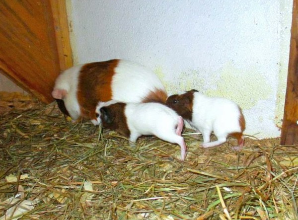 These guinea pigs have been missing from Smiling Hill Farm in Westbrook since Saturday.