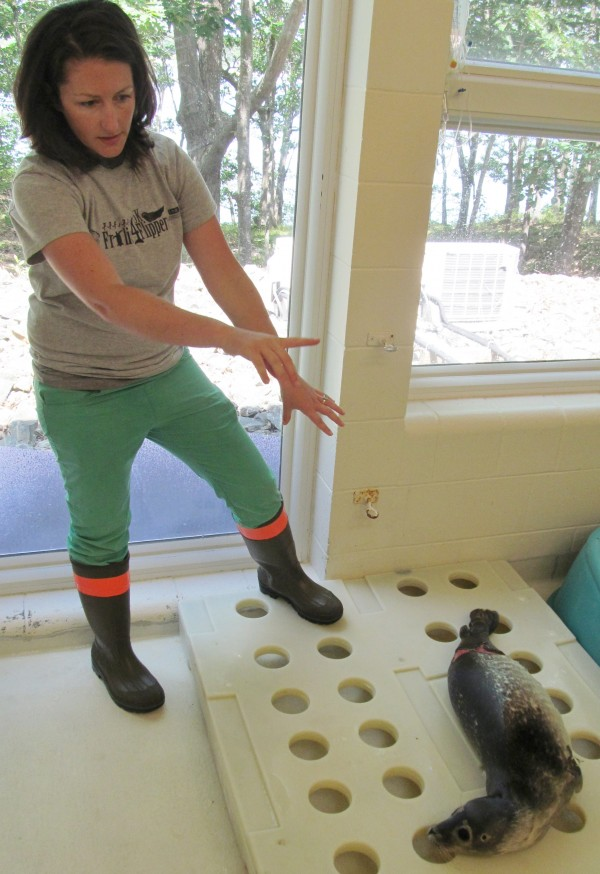 Shannon Prendiville, animal care laboratory technician at the University of New England Marine Animal Rehabilitation Center, points out what she believes are shark bite wounds in a young seal admitted to the facility's care last week.