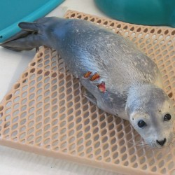 'Charleston Chew' the seal rehabilitates after a shark attack