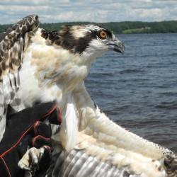 Osprey life abuzz near the ocean