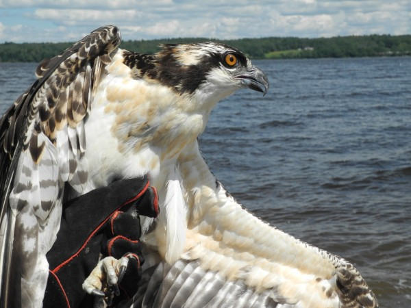 This osprey was rescued from a smoldering nest in Roque Bluffs a month ago by a Bangor Hydro lineman. On Friday, he was released to the wild at Sandy Point Beach.