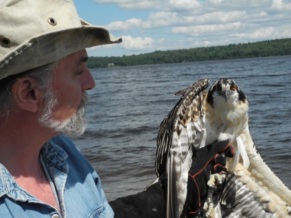 Marc Payne of Avian Haven wild bird rehabilitation center in Freedom held a young osprey Friday afternoon on Sandy Point Beach before releasing the rescued bird into the wild.