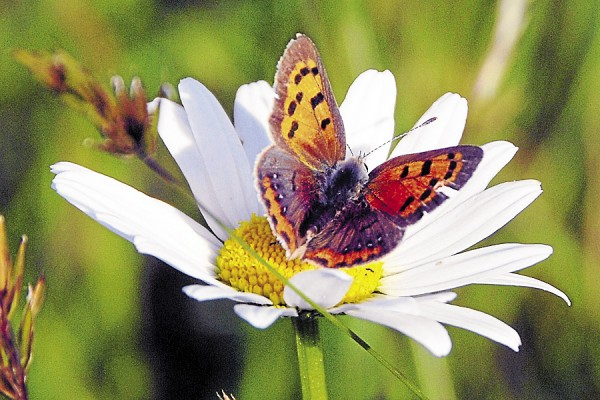 While hiking with his grandchildren, the photographer discovered this American copper butterfly perched on a daisy growing on the southern slope of Blue Hill.