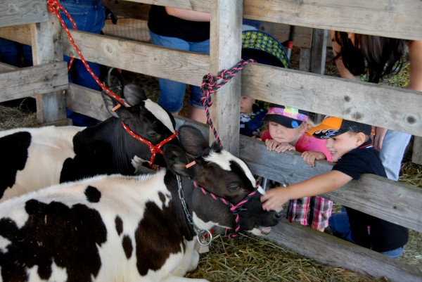 Inside the petting barn at the 125th Annual Piscataquis Valley Fair, children pet young calves that are relaxing while chewing their cud.