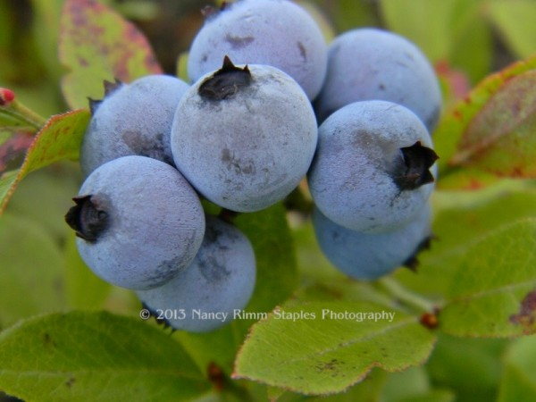 Delicious organic wild Maine blueberries from Staples Homestead.  Photo taken Saturday August 17, 2013.