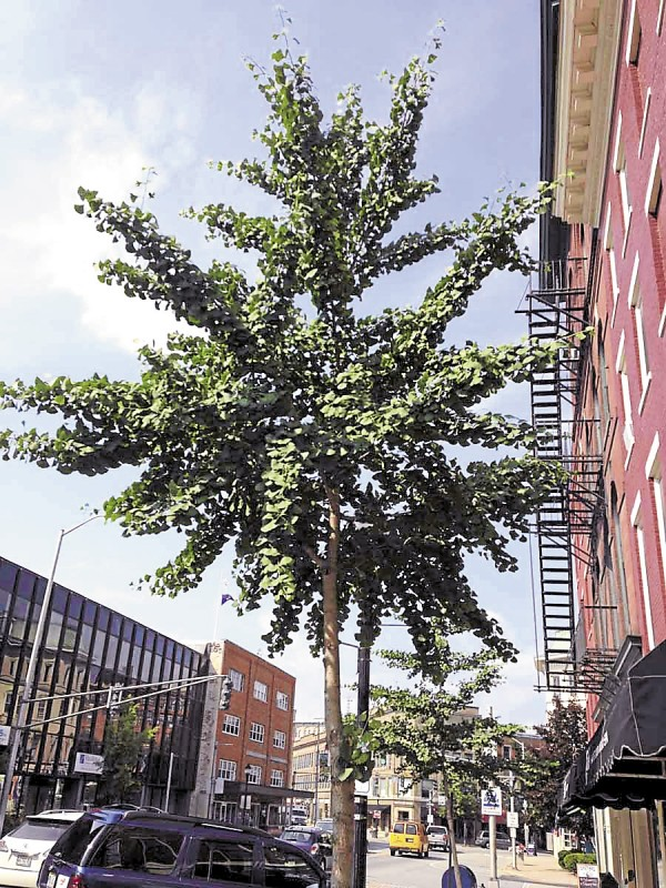 The City of Bangor has planted young ginkgo trees along Main Street in Bangor. These are male trees, preferred over female trees, which produce large seeds that stink when squashed. The ginkgo is an excellent shade tree for use in urban areas.