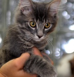 Proceeds from PAWS Toby Keith concert raffle will help abandoned kittens, like Stella, who has already found her permanent loving home as well as other stray cats and dogs.  PAWS has many adoptable kittens just as sweet as Stella.  FMI, call 4547662, email pawscalais@yahoo.com or stop by 368 South St, Calais from 1-4pm any Thursday, Friday or Saturday afternoon.
