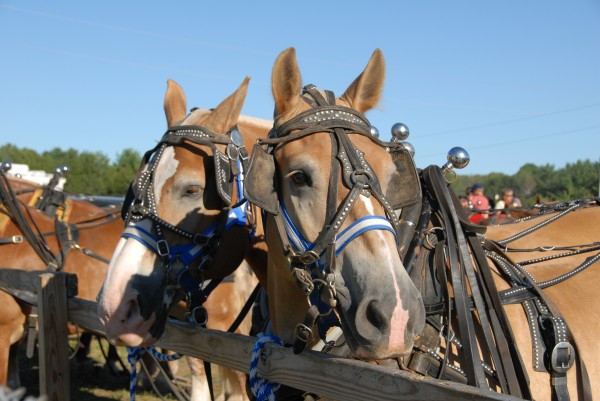 A Belgian draft horse watches the competition as other harnessed horse teams participate in the dragging contest at the 125th Annual Piscataquis Valley Fair.