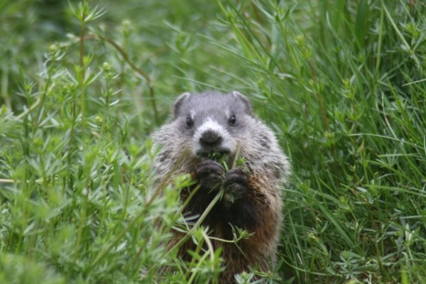 Woodchuck pup nibbling.  Photo by Eric Hynes