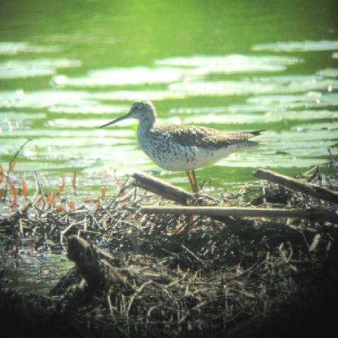 Greater Yellowlegs taken by Jerry Smith