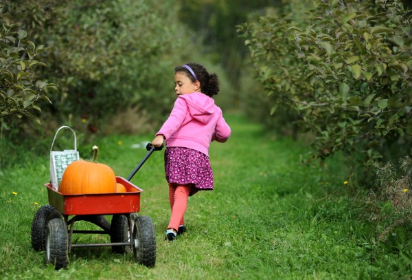 Four-year-old Rayanna Brann of Lamoine pulls her loaded wagon down a row of apple trees at Treworgy Orchards in Levant on Thursday afternoon.