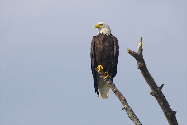 A bald eagle looks over the rests on a branch over the Eastern Branch of the Penobscot River in an area where Elliotsville Plantation Inc. has opened 40,000 acres to hunting and other recreational use.