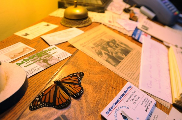 A butterfly sits on a desk in the lobby of Trebor Mansion Inn in Guilford, where butterfly expert Robert Shaffer has a butterfly preserve. Shaffer is concerned because he has observed a decrease in butterflies this summer.