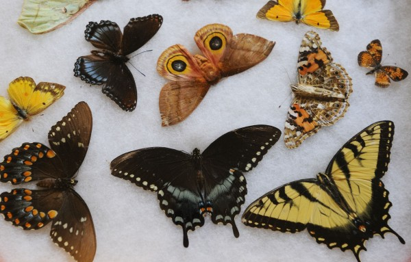 Part of butterfly expert Robert Shaffer's butterfly collection as seen at Trebor Mansion Inn in Guilford, where he has a butterfly preserve. Shaffer is concerned because he has observed a decrease in butterflies this summer.