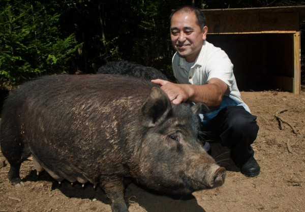 Restaurateur Masa Miyake pets an American Guinea Hog sow recently at his farm in Freeport. Miyake is raising three heritage breeds of pigs that he plans to introduce to American palates at his three restaurants in Portland.