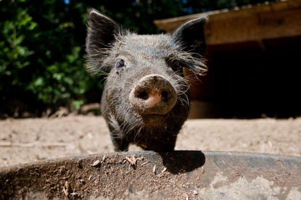 This American Guinea Hog piglet is one of three heritage breeds of pigs that Masa Miyake is raising on his farm in Freeport. Miyake plans to introduce a wider variety of pork flavors to American palates at his three restaurants in Portland.