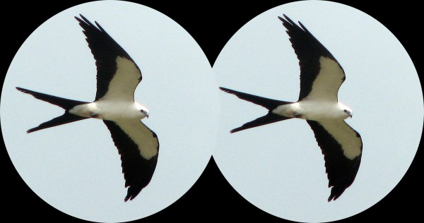 A swallow-tailed kite, as it might appear through binoculars. Birders rely on their binoculars, but sometimes have a tough time admitting that it's time to replace them.
