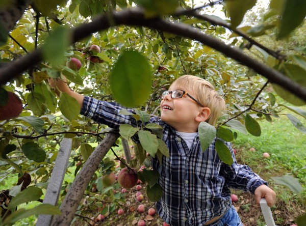 Alexander Vivarelli, 4, of Levant, has fun picking his own apples at Treworgy Orchards in Levant on Thursday afternoon.