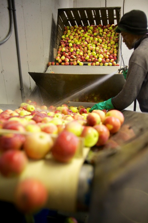 Darald Howell washes apples at Gile's Family Farm in Alfred Tuesday before they are shredded and pressed into cider.