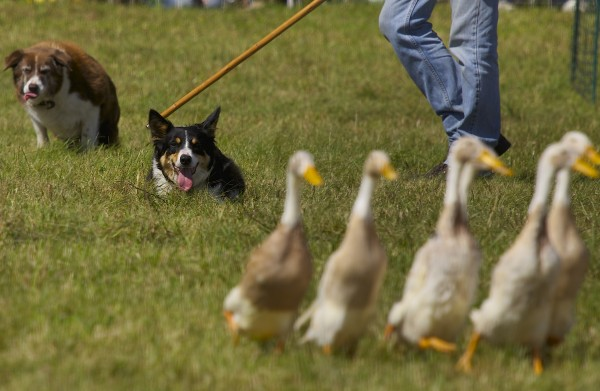 Sheep dogs herd ducks during a demonstration at the 2013 Common Ground Country Fair on Saturday in Unity.