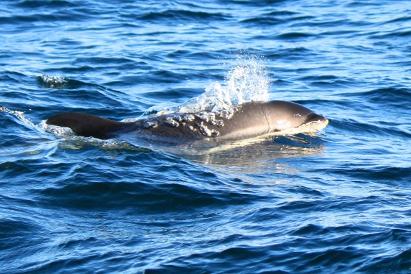 An Atlantic white-sided dolphin surfaces for a breath of air about 10 miles south of Mount Desert Rock off the coast of Maine on Sept. 19, 2013, close to a whale watching group aboard College of the Atlantic's research boat, Osprey.
