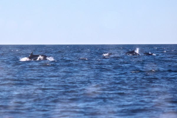 A super-pod of Atlantic white-sided dolphins is seen through the window of College of the Atlantic's research boat, Osprey, on Sept. 19, 2013, during an &quotold-school&quot whale-watching tour hosted by COA in partnership with the Bar Harbor Whale Watch Co. The Osprey crew estimated there were about 500 dolphins in the super-pod.
