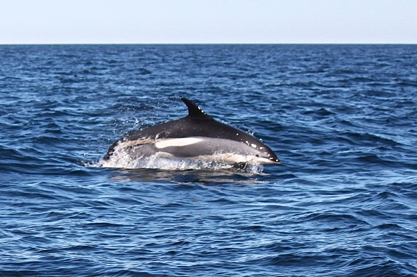 An Atlantic white-sided dolphin leaps out of the water about 10 miles south of Mount Desert Rock off the coast of Maine on Sept. 19, 2013, to the delight of a whale-watching group aboard College of the Atlantic's research boat, Osprey.