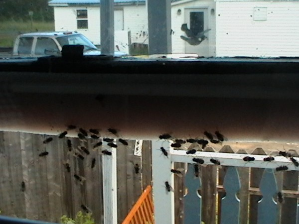 Flies mass on a window at the St. Francis home of Karen Gagnon. According to Gagnon and fellow residents, they have been fighting hordes of houseflies all summer. &quotWould you want to live with this?&quot Gagnon said.