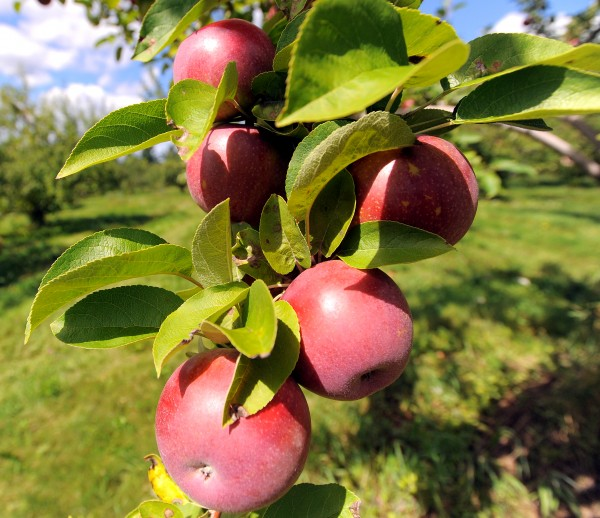 McIntosh apples on a tree at Conant Orchards in Etna.  They grow 19 varieties of apples, sell cider, pumpkins and pears just to name few of items available at the farm's store.
