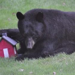 A Maine black bear's balanced diet