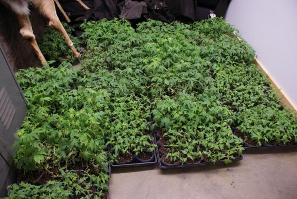 Some of the more than 4,100 marijuana plants found growing in the basement of Richard M. Kuhaneck's home in Enfield on May 16, 2013, according to the Penobscot County Sheriff's Office.