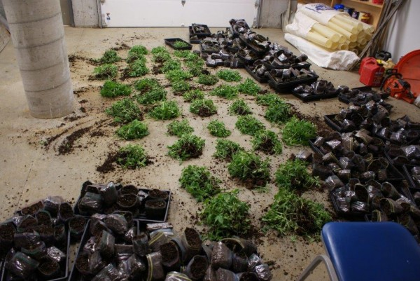 Some of the more than 4,100 marijuana plants found in the basement of Richard M. Kuhaneck of Enfield, according to the Penobscot County Sheriff's Office. These plants have been counted by investigators and were later destroyed.