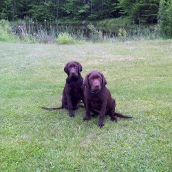One of two chocolate Labs allegedly stolen from pickup in Newport safely returned