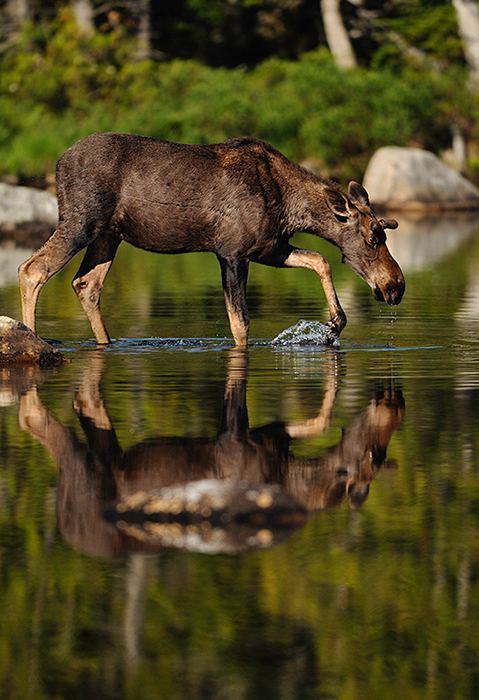 Moose by Jeremy Gray