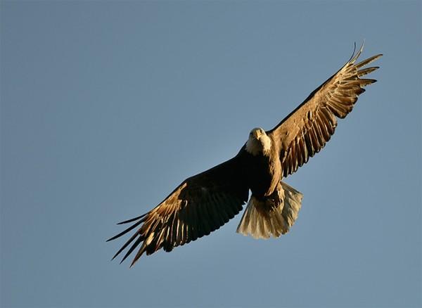 Bald Eagle by Jeremy Gray