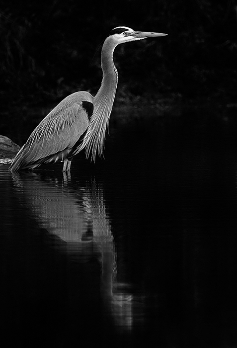 Great Blue Heron by Jeremy Gray