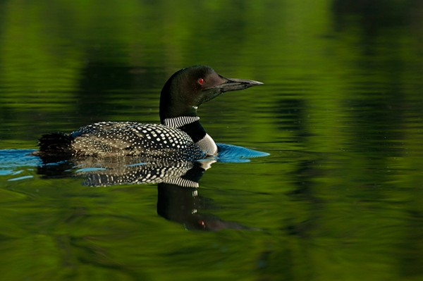 Loon by Jeremy Gray