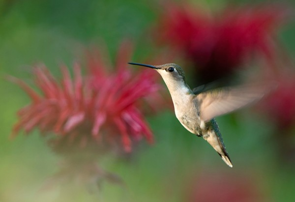 Hummingbird by Jeremy Gray