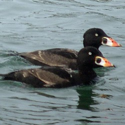 Surf scoters are among the birds you might see along Maine's coastline after the weather turns colder.