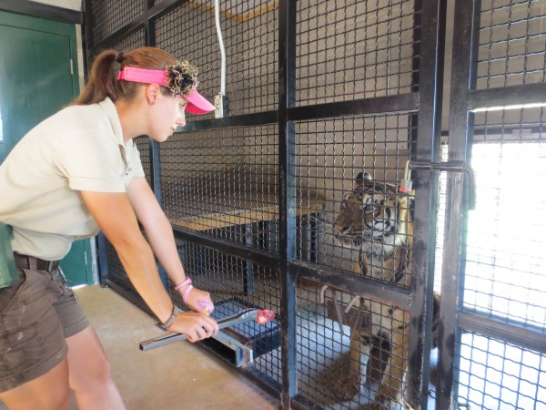 Unity College senior Alyssa Maltman, 21, worked this summer at an internship at the Tiger Creek Wildlife Refuge in Tyler, Texas. One of her duties included helping train a Bengal tiger named Amara.