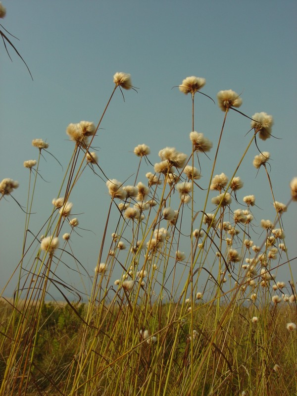 Eriophorum virginicum, commonly known as tawny cottongrass, grows on Metinic Island in September 2007, and is one of the many sedges that grows in Maine.